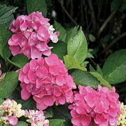 Hydrangea macrophylla Cityline® Venice