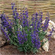 Delft Blue Riding Hood Beardtongue