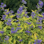 Lil Miss Sunshine® Blue Mist Shrub