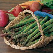 Jersey Knight Hybrid Asparagus Plants