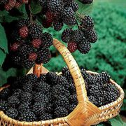 Navaho Blackberry Bush image