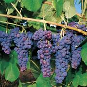 Glenora Grape Plant