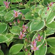 Gilt Edge Toad Lily