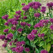 Purple Rooster Bee Balm