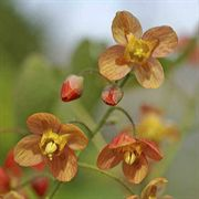 Epimedium x warleyense Orange Queen