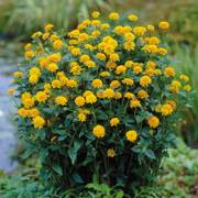 Asahi False Sunflower image
