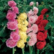 Chaters Double Hollyhock