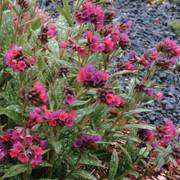 Raspberry Splash Bethlehem Sage