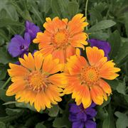 Oranges & Lemons Blanket Flower