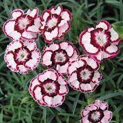 Dianthus Raspberry Swirl