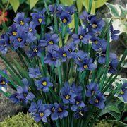 Lucerne Blue-eyed Grass image