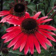 Solar Flare Echinacea