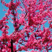 Appalachian Red Redbud image