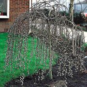 Weeping Pussy Willow Tree