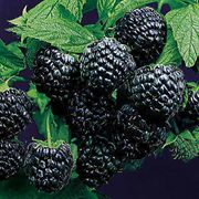 Jewel Raspberry Bush