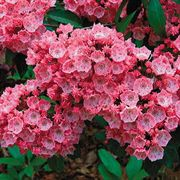 Carol Mountain Laurel