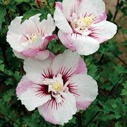 Fiji Rose of Sharon