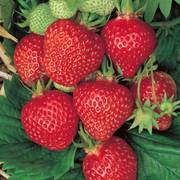 Quinalt Strawberry Plant image