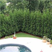American Pillar Thuja Evergreen Tree