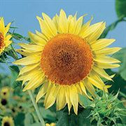 Russian Mammoth Organic Sunflower Seeds