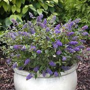 Lo & Behold™Blue Chip Butterfly Bush