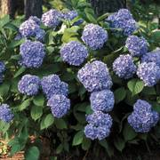 All Summer Beauty Hydrangea Alternate Image 1
