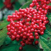 Viburnum Cardinal Candy™
