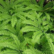 Maidenhair Fern Plant