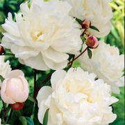 Gardenia Peony image