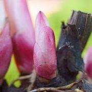 Gardenia Peony Alternate Image 2