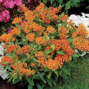 Butterfly Weed Alternate Image 2