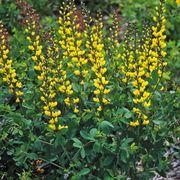 Lemon Meringue Baptisia False Indigo Plant image