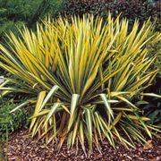Yucca 'Color Guard' image