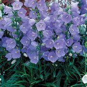 Takion Blue Bellflower
