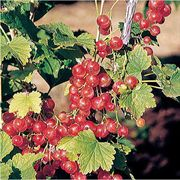 Cherry Red Currant Shrub