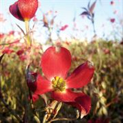 Red Pygmy® Rutnut Dogwood