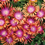 Fire Spinner® Iceplant image