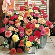 Parks Cutting Blend Full Mix Zinnia Seeds