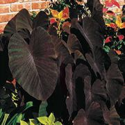 Black Magic Elephant Ear Plant