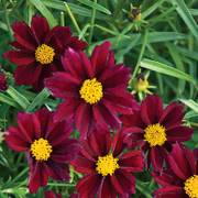 Coreopsis Big Bang™ Mercury Rising