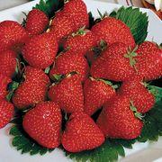 Fragaria 'Jewel' Strawberry Thumb