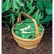 Eastland Lima Bean Seeds