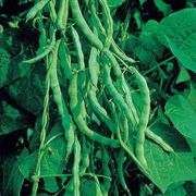 Kentucky Wonder Bean Seeds
