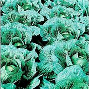 Sweet Surprise Hybrid Cabbage Seeds