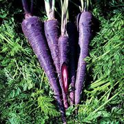 Purple Haze Hybrid Carrot Seeds