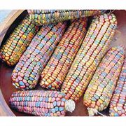 Earth Tones Ornamental Corn Seeds