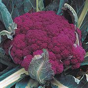 Graffiti Hybrid Cauliflower Seeds