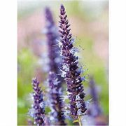 Astello Indigo Agastache Seeds