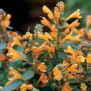 Arizona™ Sandstone Hummingbird Mint