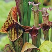 Webbed Goblets and Chalices Pitcher Plant Seeds Alternate Image 1